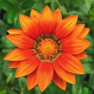 بذر گل گازانیا نارنجی