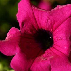بذر گل اطلسی حنایی