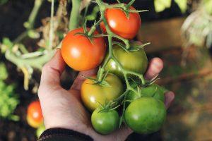 کشت و کار گوجه فرنگی
