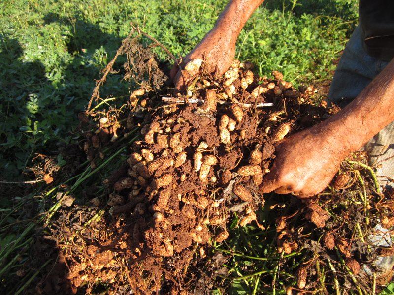 کاشت بادام زمینی