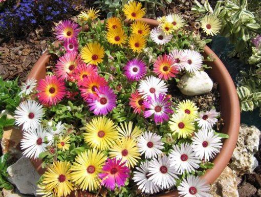 بذر گل قالی جادویی
