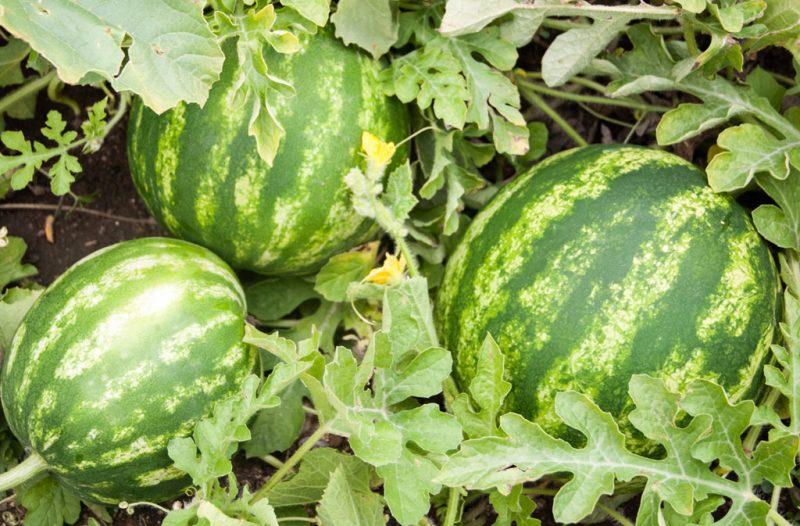 پرورش هندوانه