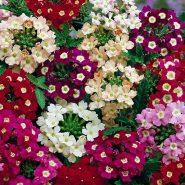 بذر گل شاهپسند