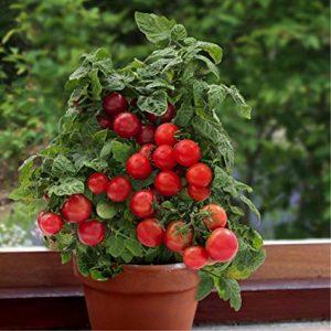 کاشت گوجه فرنگی گیلاسی