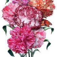 بذر گل میخک مارگاریت