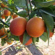 نهال پرتقال توسرخ تاراکو
