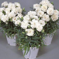 بذر گل میخک سفید