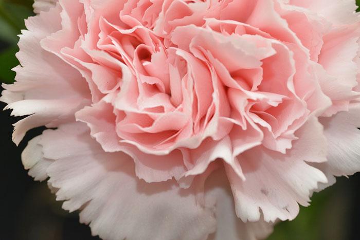 بذر گل میخک رز