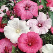 بذر گل لاواترا