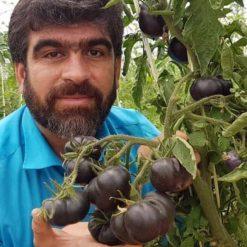 بذر گوجه فرنگی بلک بیوتی