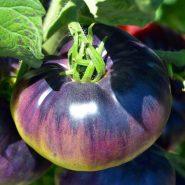 بذر گوجه فرنگی زیبای آبی