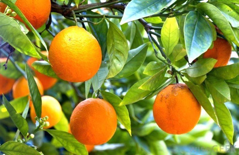 نهال پرتقال توسرخ کارارا