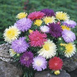 بذر گل مینا گلبرگ