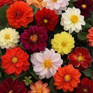 بذر گل کوکب دانوین