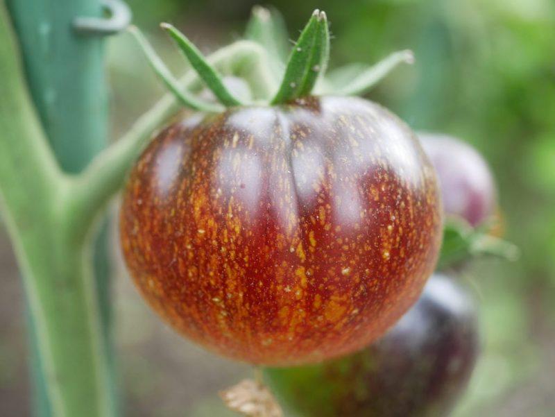 بذر گوجه فرنگی کهکشان تیره