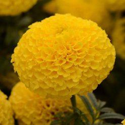 بذر گل جعفری آفریقایی زرد
