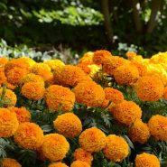 بذر گل جعفری آفریقایی نارنجی