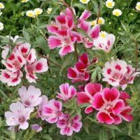 بذر گل گودیشا