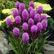 بذر گل لیاتریس اسپیکاتا