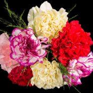 بذر گل میخک صد پَر