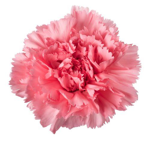 بذر گل میخک رز صورتی