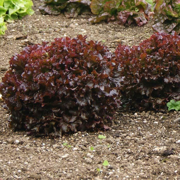 بذر کاهو سالاد بول قرمز