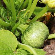 بذر کدو دلمه سبز