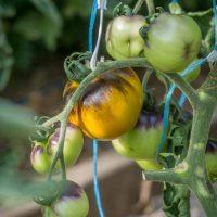 بذر گوجه فرنگی آبی