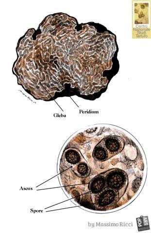 قارچ دُنبلان