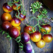 بذر گوجه فرنگی توت طلایی