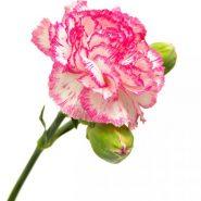 بذر گل میخک سفید دورنگ