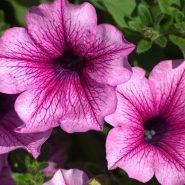 بذر گل اطلسی ارکید