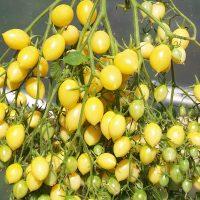 بذر گوجه فرنگی زرد دیوانه