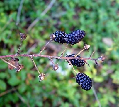 میوه بلکبری
