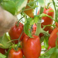 بذر گوجه فرنگی jersey