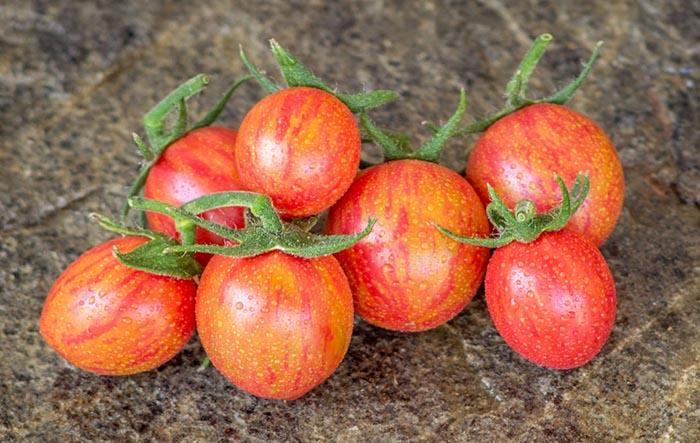 بذر گوجه فرنگی زنبور عسل