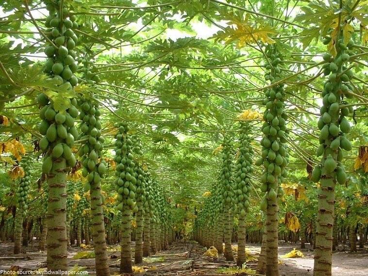 گیاه پاپایا