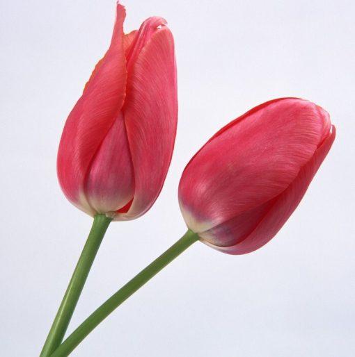 پیاز گل لاله هلندی
