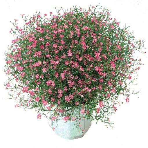 بذر گل ژیپسوفیلا صورتی