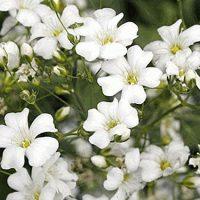 بذر گل ژیپسوفیلا سفید
