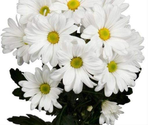 بذر گل داوودی سفید