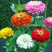 بذر گل آهار پامتوسط