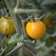 بذر گوجه فرنگی زرد vernissage