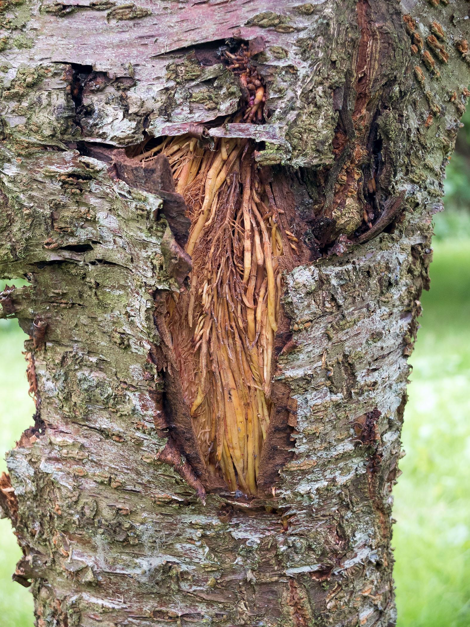 ترکیدگی تنه درختان