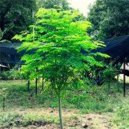 بذر درخت گز روغنی