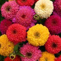 بذر گل آهار پابلند