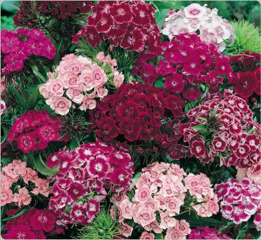 بذر گل بوقلمون