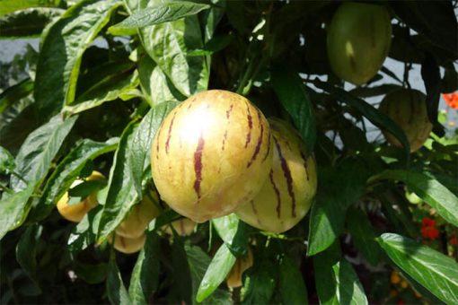 بذر پپینو زرد