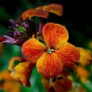 بذر گل شب بوی سلطانی