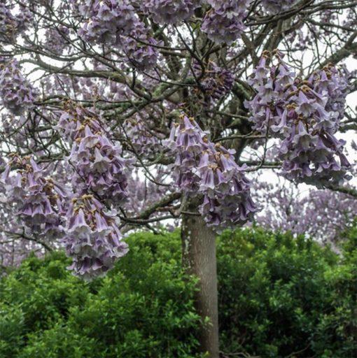بذر درخت پالونیا تومنتوسا